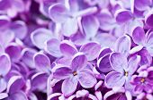 pic of lilac bush  - Macro image of spring lilac flowers - JPG