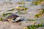 image of terrapin turtle  - A Diamondback Terrapin walking across the salt marsh - JPG