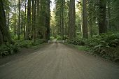 picture of redwood forest  - Redwood Forest Road - JPG