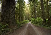 stock photo of redwood forest  - Redwood Forest Country Road - JPG