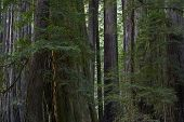 picture of redwood forest  - Deep Redwood Forest Closeup - JPG