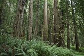 stock photo of redwood forest  - Redwood Forest Landscape  - JPG