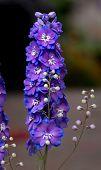 Upright Purple Delphium