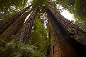 stock photo of redwood forest  - Coastal Redwood Forest  - JPG