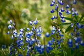 Wildflowers: Blue Lupine