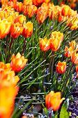 Orange Blossom Tulips