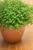 Soleirolia soleirolii (syn. Helxine soleirolii) or Baby's Tears plant in pot.