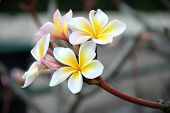 Frangipani Flower Scent of Asian exotic flower