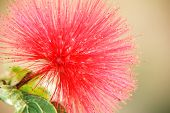Red head powder puff Flower Scent of Asian exotic flower