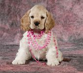 female cocker spaniel puppy wearing necklace on pink tone background - 9 weeks old