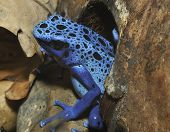 picture of poison arrow frog  - Blue Poison Frog - Dendrobates tinctorius azureus