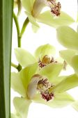 Orchidee Pflanze cymbidium