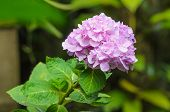 Pink Hydrangea Flower On Blur Background