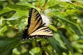 Tiger Swallowtail On Buttonbush Wildflower 3