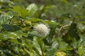 Common Buttonbush - Cephalanthus occidentalis