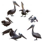 Set Of Brown Pelicans