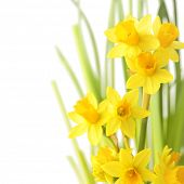 Spring floral border, beautiful fresh narcissus flowers, isolated on white background
