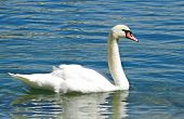 Swan on Lucerne Lake