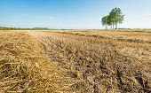 Straw On A Large Stubble Field With Trees