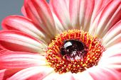 Closeup Of A Bright Beautiful Gerbera Daisy With A Big One Dew Drop In The Middle