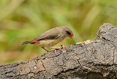 Female Red Avadavat