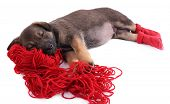 Puppy in red socks sleeping on a hank of red yarn isolated on white