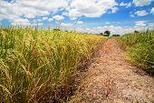 Yellow Jasmine Rice Farm Against Blue Sky