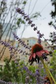 foto of prairie coneflower  - Single coneflower in focus on the right with the city in background - JPG