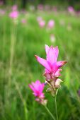 stock photo of curcuma  - Curcuma alismatifolia - JPG