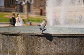 pigeon and a fountain