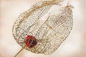 Dried Filigree Bladder Cherry Against Light Beige Wall Background