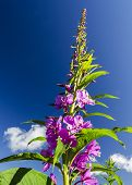 Fireweed Against The Sky