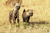 Masai Mara Young Hyenas