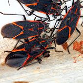 stock photo of illinois  - Gathering of Boxelder Bugs (Boisea trivittata) on a spring day in Illinois.