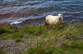 pic of iceland farm  - Playful Icelandic Sheep in a green meadow