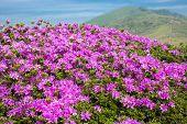 Bright pink azalea