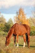 stock photo of horses eating  - Chestnut horse eating at the pasture in autumn