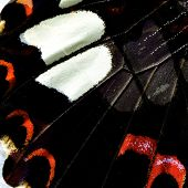 Close Up Of Beautiful Red Helen Butterfly Wing Skin With Very Nice In Details
