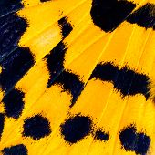 Close Up Of Blue And Yellow Butterfly Wing Skin With Very Sharp In Details