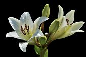 Two Flowers Of White Lily With Droplets Of Water In Sunshine