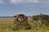 Fighting Giraffes At Etosha National Park