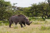 White Rhinoceros At Etosha National Park