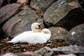 Swan Sitting In The Nest On Stone