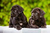 two adorable cane corso puppies