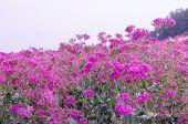 Silene Armeria Flower