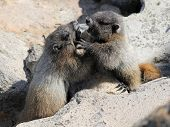 stock photo of marmot  - Two juvenile Hoary Marmots wrestling in Mount Rainier National Park - JPG