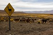 foto of lamas  - Lama Sign and group of Lamas with a desert background - JPG