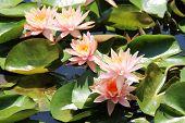 Beautiful lily