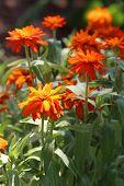 Orange zinnias