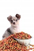 Chihuahua And Dog Food